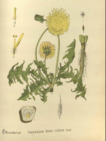 study herbalism dandelion