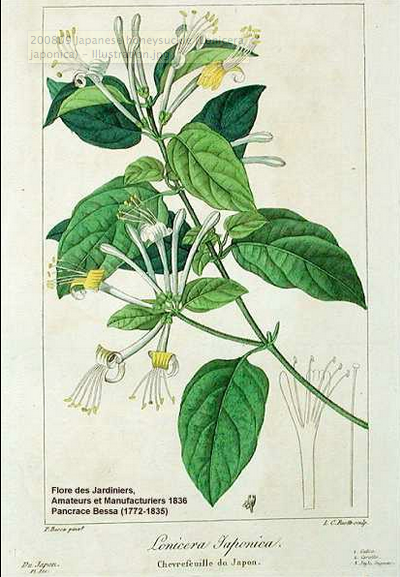 chinese herb honeysuckle