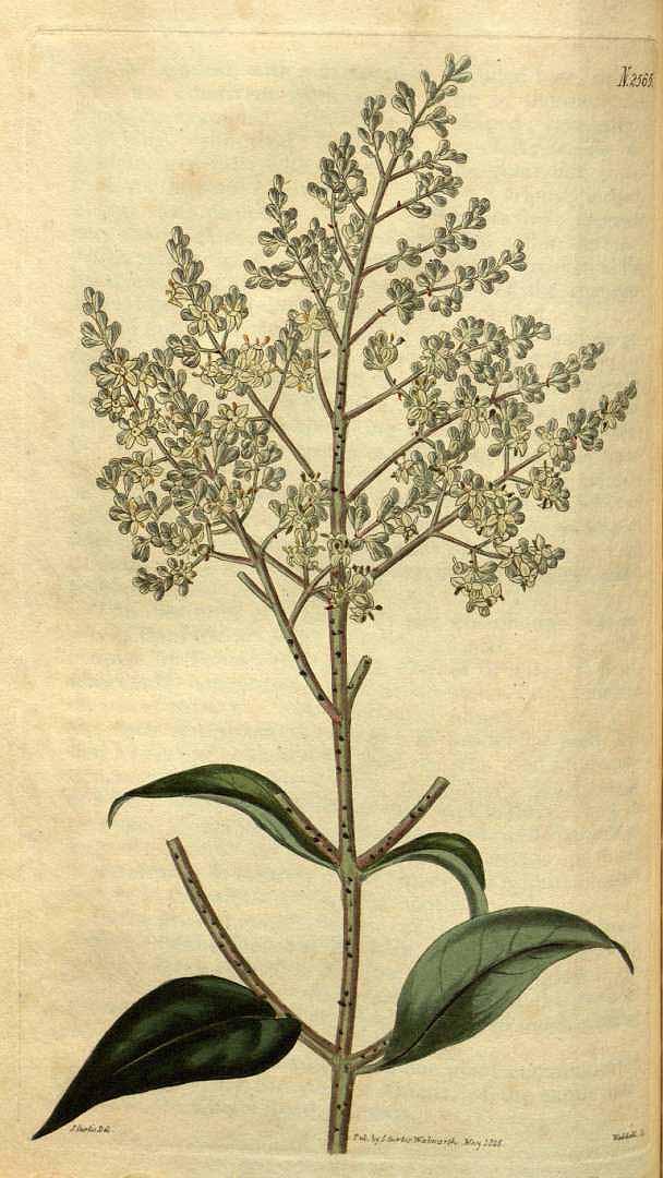 herbal program ligustrum
